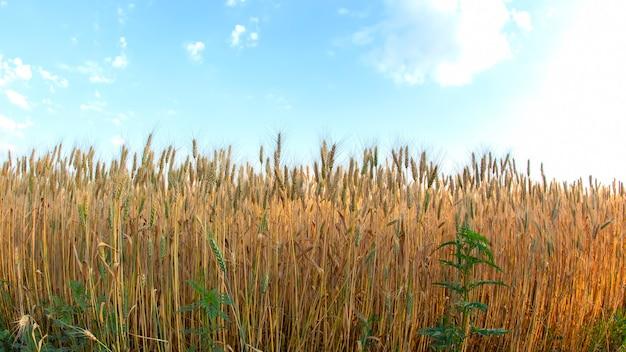 Veldgewassen geteeld met tarwe