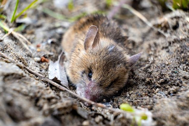 Veldmuis probeert zichzelf in de grond te begraven