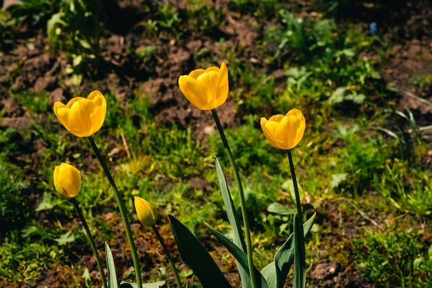 Vele gele tulpen groeien in grond op achtergrond van groen gras met copyspace. de groep mooie romantische bloemen sluit omhoog op achtergrond van groen.