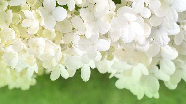 Vele kleine bloemen van witte hydrangea hortensia op een groene achtergrond.