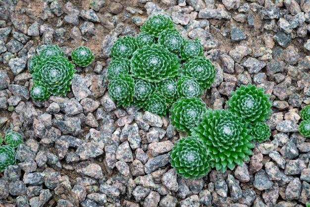 Vele kleine ronde groene cactussen in kiezelstenen.