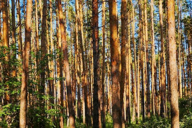 Vele naaldbomen in het bos.