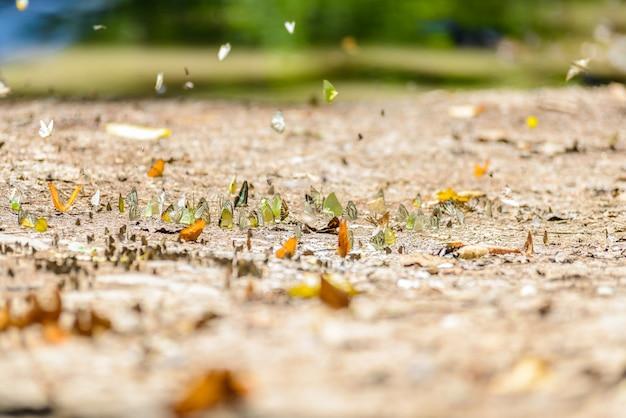 Vele pieridaevlinders die water op vloer verzamelen