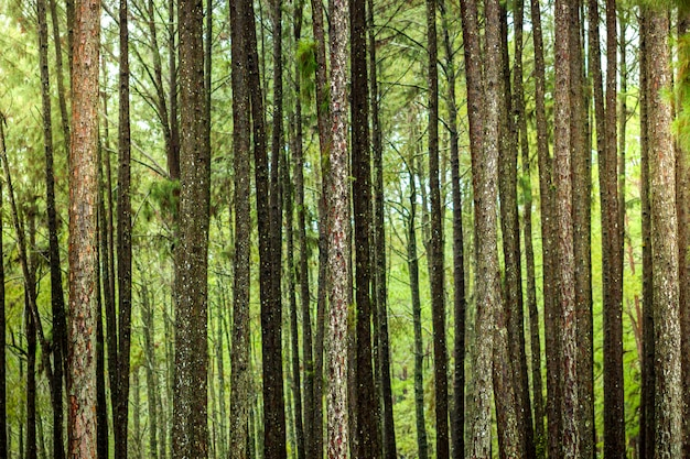 Vele pijnbomen in het bos en ochtendzonlicht.