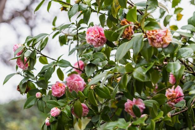 Vele roze bloemen die op groene takjes groeien