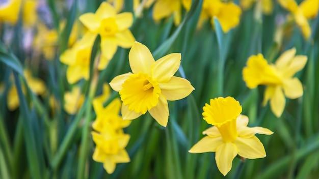 Verbazend geel de bloemgebied van gele narcissen in het ochtendzonlicht