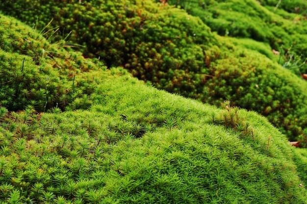 Verbazende dichte omhoog groene mosachtergrond van schoonheidsbos.