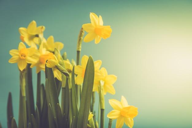Verbazingwekkende gele narcissen bloemen in de mand. afbeelding voor lente achtergrond