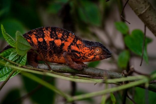 Verbazingwekkende kleurrijke chameleon parson's. endemisch voor madagaskar in prachtige oranje kleuren madagaskar. afrika