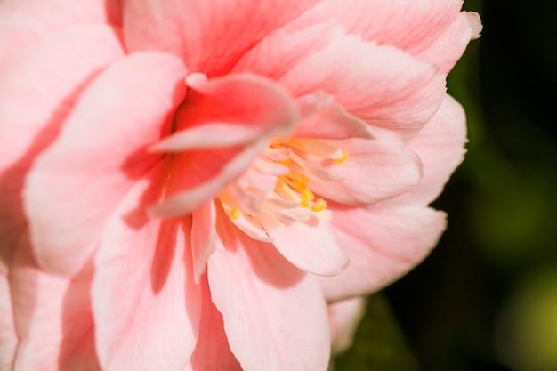 Verbazingwekkende roze verse bloemblaadjes van bloem