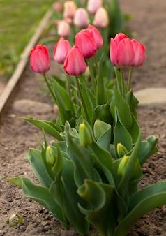 Verbazingwekkende rozentulpen in het bloembed, bloeiend in het voorjaar.