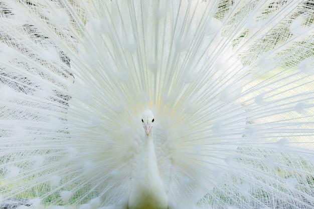 Verbazingwekkende witte pauw die zijn staart opent
