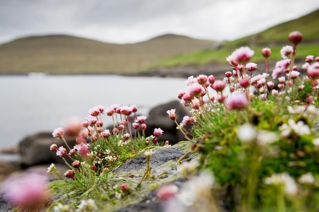 Verbena. mooie bloem, zee en bergen. faeröer, denemarken