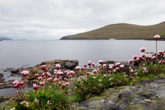 Verbena. mooie bloem, zee en bergen. faeröer
