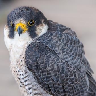 Verbluffende close-up die van een adelaar is ontsproten die de camera bekijkt