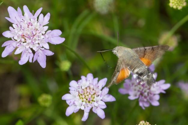Verbluffende macro-opname van een vliegend kolibrievlinderinsect dat nectar verzamelt op een wilde bloem