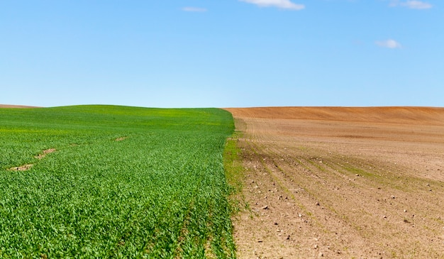 Verdeeld in delen van het landbouwveld, waarvan er één een oogst van graantarwe groeit, die al groene spruiten heeft gekiemd, in de tweede helft, geploegde grond