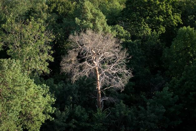 Verdorde pijnboom omringd met andere groene bomen
