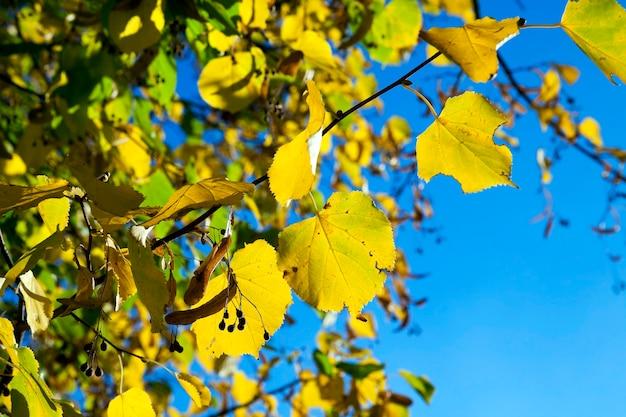 Vergeelde esdoornbladeren - gefotografeerd close-up van vergeeld in de herfst, het esdoornblad, herfstseizoen, een kleine scherptediepte