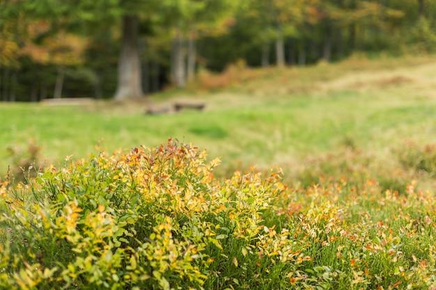 Vergeelde struikbosbessen op bosopen plek met de herfstbomen