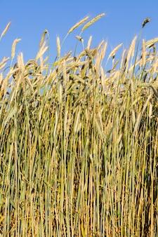 Vergeelde tarwe in het veld