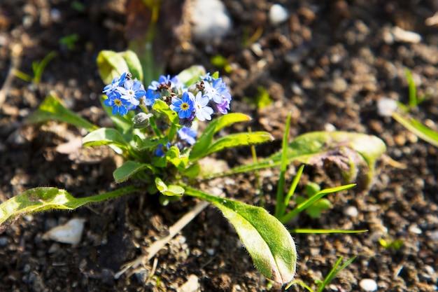 Vergeet me niet bloemen, myosotis, kleine blauwe bloemen, familie boraginaceae
