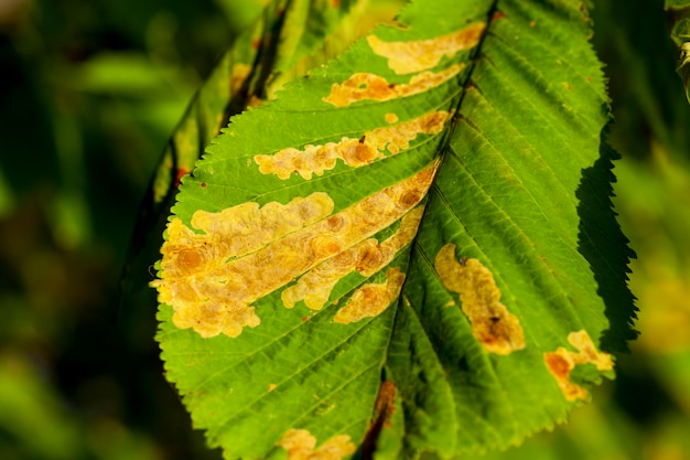 Vergelende bladeren aan de bomen - vergelende bladeren aan de bomen die groeien in het stadspark, herfstseizoen, een kleine dof,