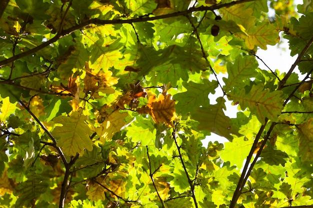 Vergelende bladeren op een eik