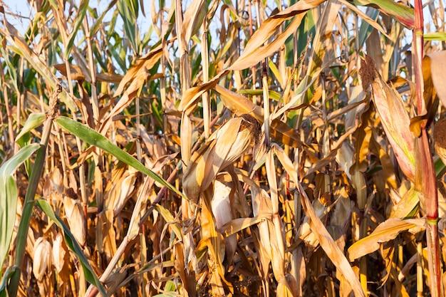 Vergelende rijpe korenaren groeien op landbouwgebied in het herfstseizoen, ondiepe scherptediepte, gemaakte close-ups