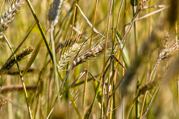 Vergelende tarwe in de zomer, een veld met landbouwgranen die bijna rijp en oogstrijp zijn