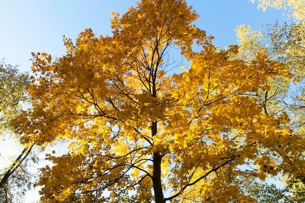 Vergeling van bladeren op esdoorns in de herfst, blauwe lucht op de achtergrond, foto genomen close-up, gebladerte wordt verlicht door de zon in een park
