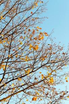 Vergeling van bladeren op esdoorns in de herfst. genomen close-up.