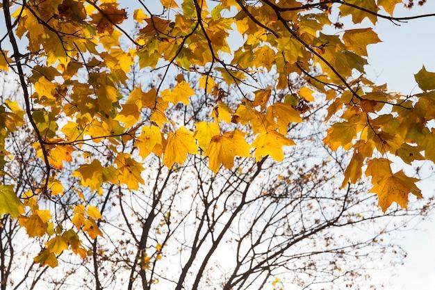 Vergeling van bladeren op esdoorns in de herfst. het gebladerte wordt verlicht door zonneschijn in een park. zichtbaar deel van de kale takken van planten
