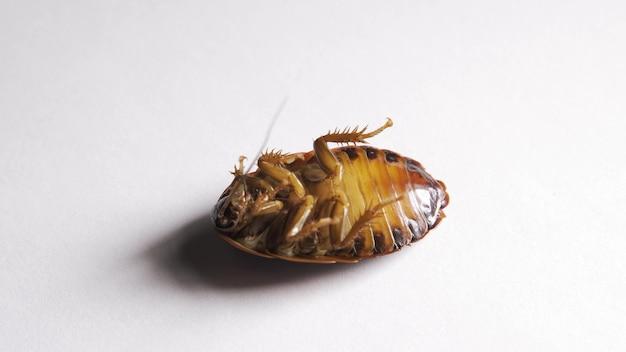 Vergiftigde kakkerlak ligt op zijn rug en gaat snel over met zijn poten.