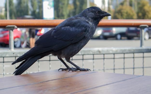 Vergrote weergave van een zwarte vogel, een kraai die op een houten tafel van een fastfoodrestaurant op straat staat, wachtend en op zoek naar voedsel. raaf zit op het hek.