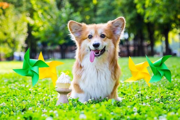 Verjaardag van mooie corgi pluizig op groen gazon en kleurrijke feestvlaggen op de achtergrond