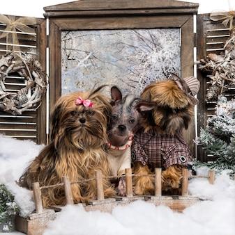 Verklede shi tzu en chinese naakthonden, in een winters landschap