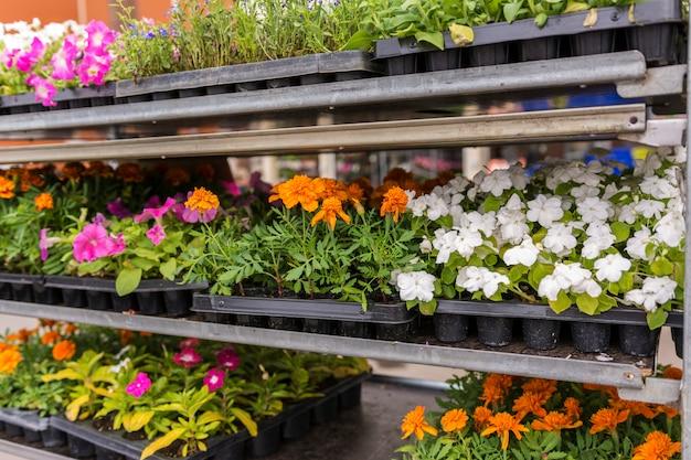Verkoop van tuinbloemen in de winkel. planken met potten
