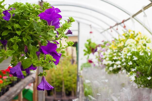 Verkoop van veelkleurige petunia's die in de kas worden geteeld. detailopname