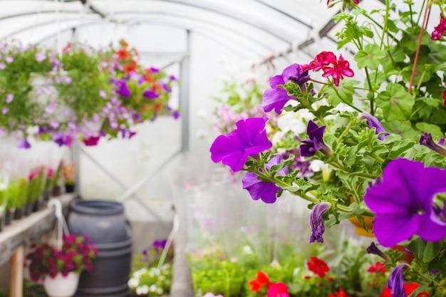 Verkoop van veelkleurige petunia's die in de kas worden geteeld. selectieve aandacht. detailopname
