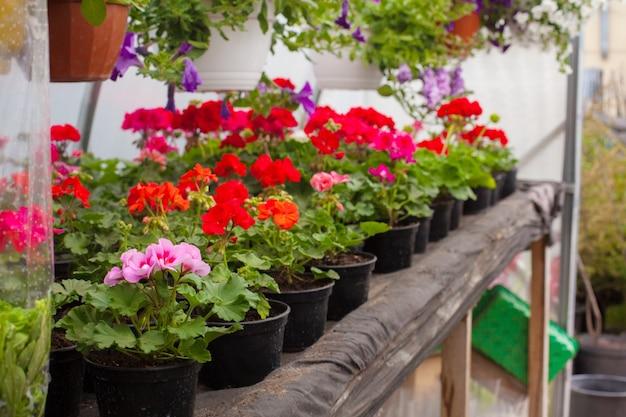 Verkoop van veelkleurige petunia's die in de kas worden geteeld.