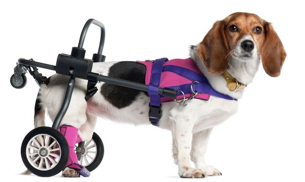 Verlamde gehandicapte hond van gemengd ras, 8 jaar oud