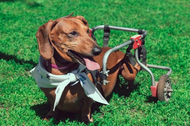 Verlamde gelukkige kortharige teckel op rolstoel die in het park loopt