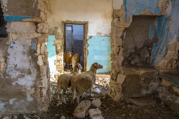 Verlaten huizen. schapen verstoppen zich voor de hitte in de ruïnes. verlaten dorpen in crim