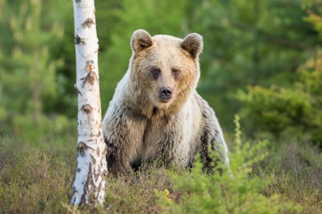 Verlegen bruine beer vrouw staande in de buurt van berkenboom in heideland
