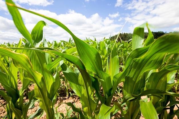 Verlicht door zonlicht groene bladeren van maïs op een zomerdag, blauwe lucht, suikermaïs close-up