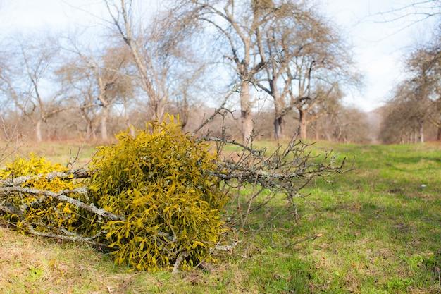 Verlicht door zonlicht maretak groeit aan een boom, close-up