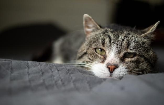Vermoeide oude grijze gestreepte katkat met groene ogen die thuis op zacht bed rusten