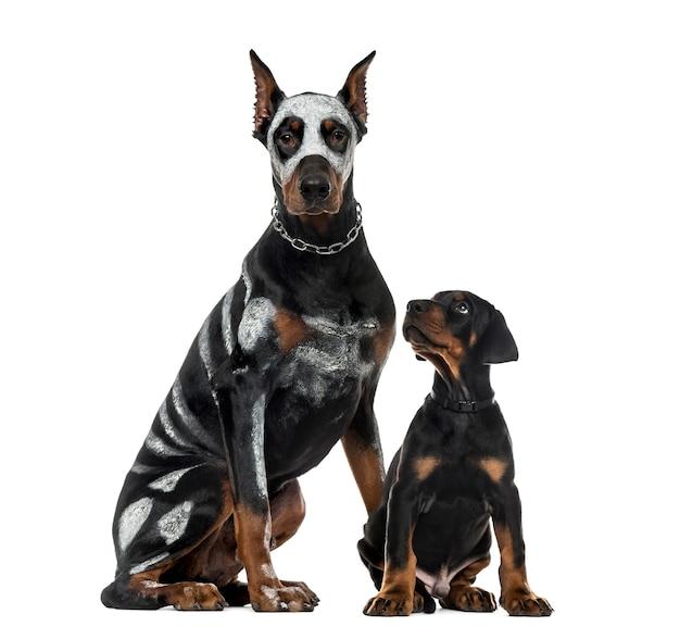 Vermomde dobermann pinscher en puppyzitting, die op wit wordt geïsoleerd