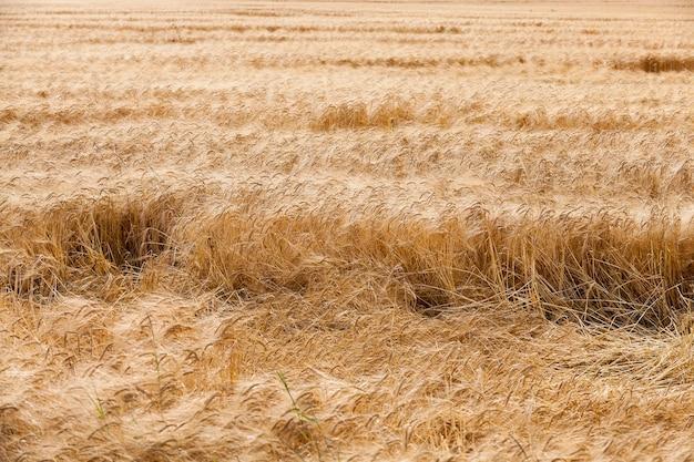 Vernietigd door de stormtarwe - landbouwveld waar na een storm rijpe gele tarwe op de grond ligt